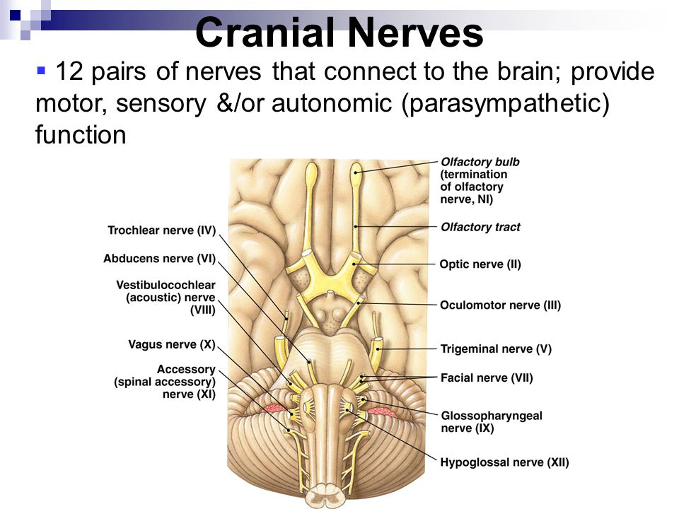 Cranial Nerves 12 pairs of nerves that connect to the brain; provide motor, sensory &/or autonomic (parasympathetic) function.