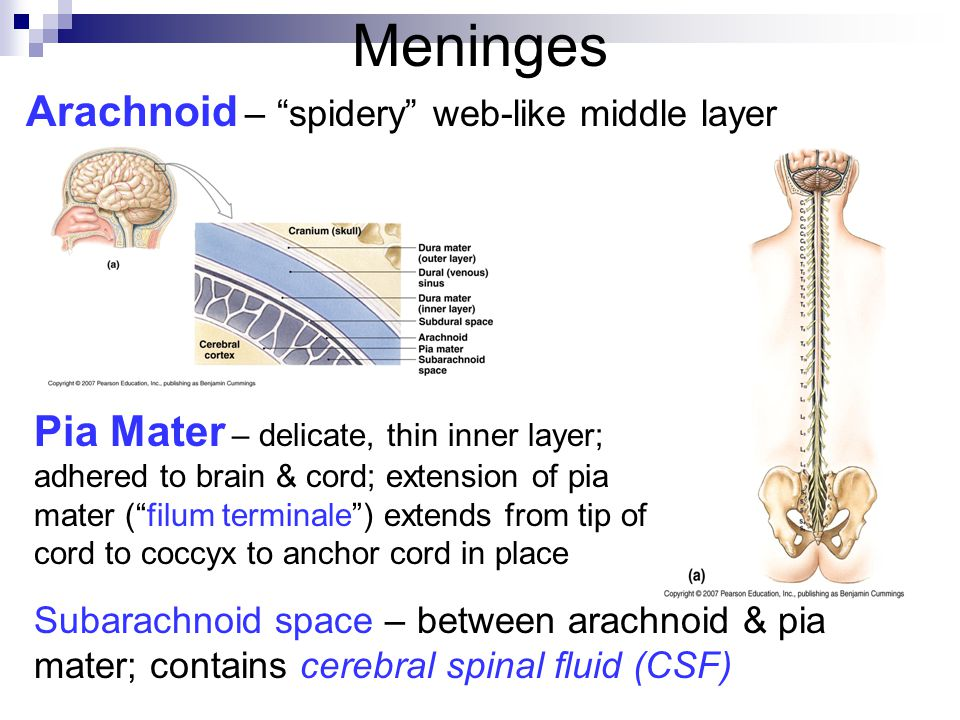 Meninges Arachnoid – spidery web-like middle layer