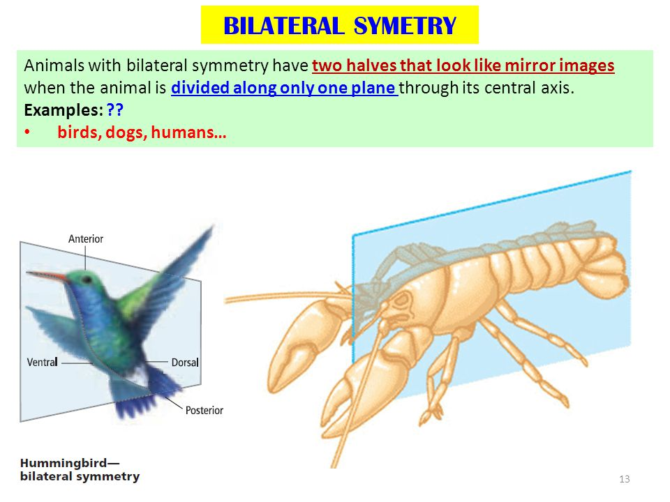 bilateral symmetry in animals - photo #10