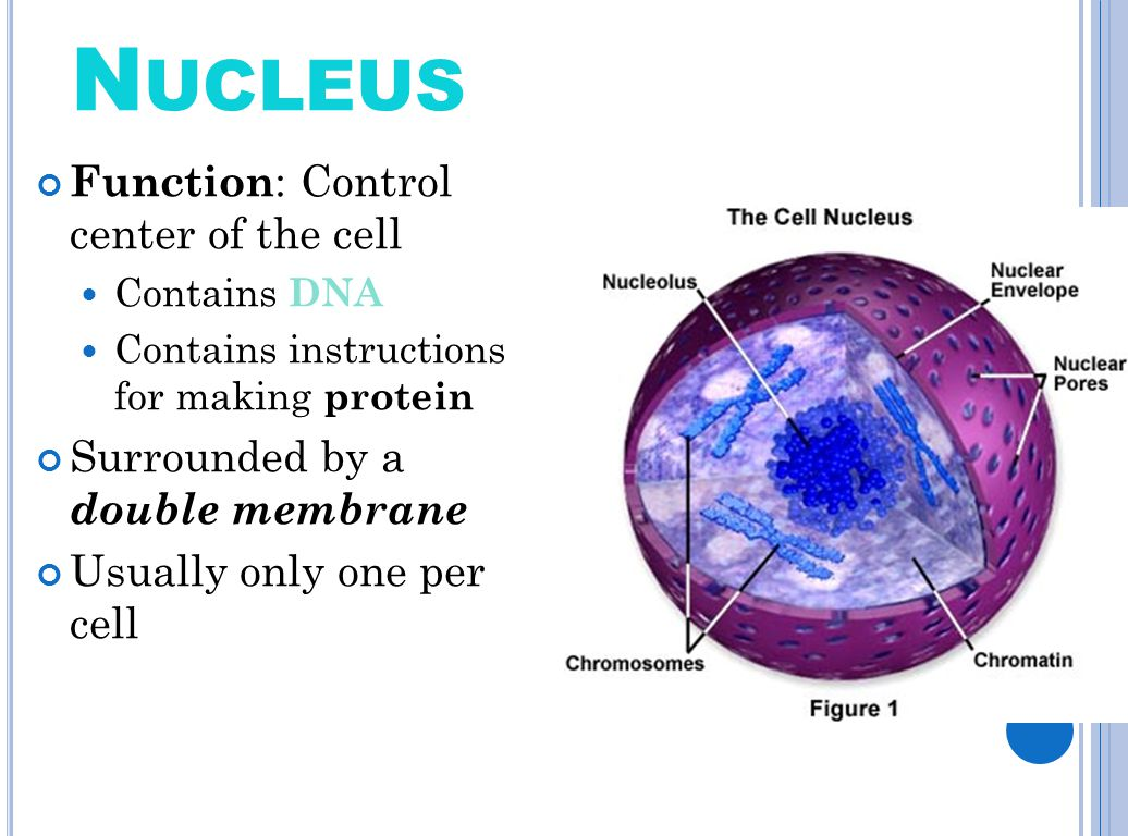structure and function of cell nucleus The nucleus is a spherical-shaped organelle present in every eukaryotic cell it is the control center of eukaryotic cells, responsible for the coordination of genes and gene expression.