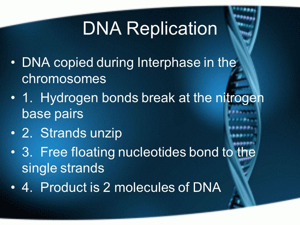 DNA Replication DNA copied during Interphase in the chromosomes