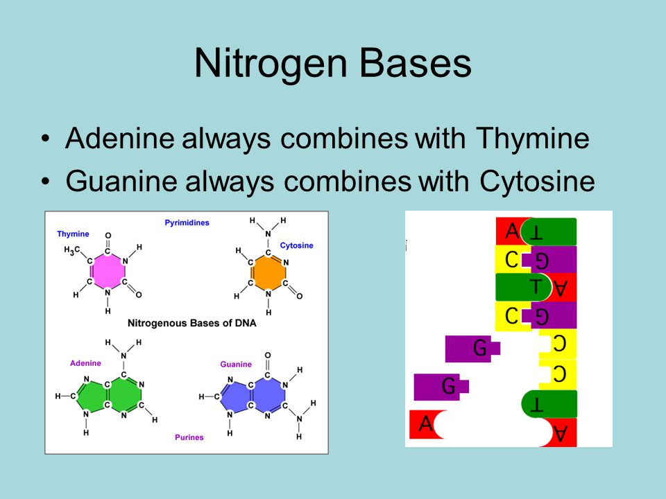 Nitrogen Bases Adenine always combines with Thymine