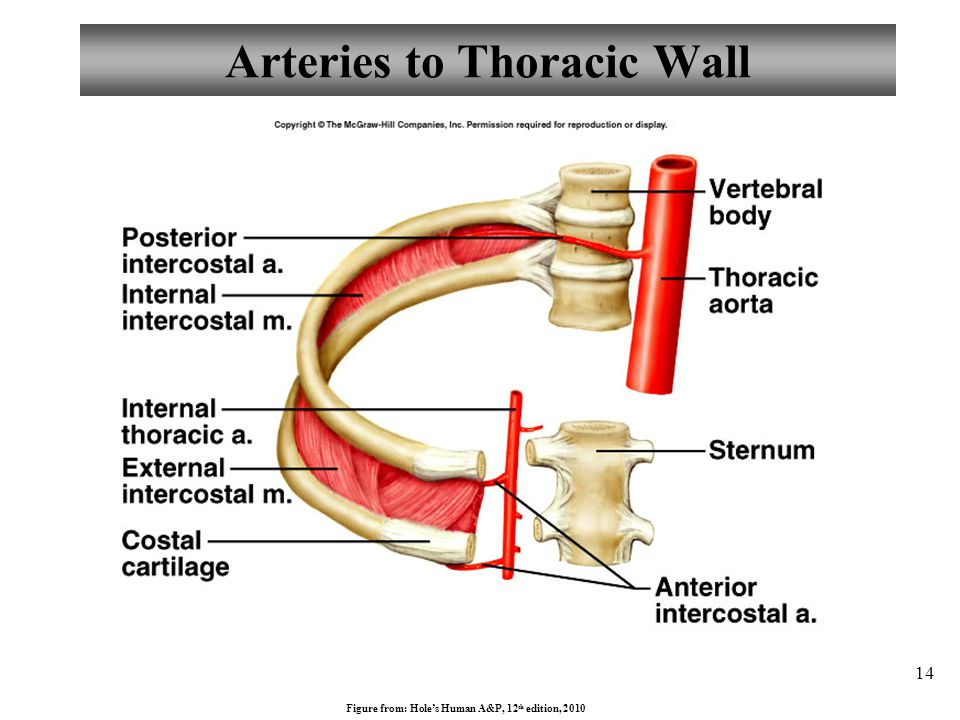 Arteries to Thoracic Wall