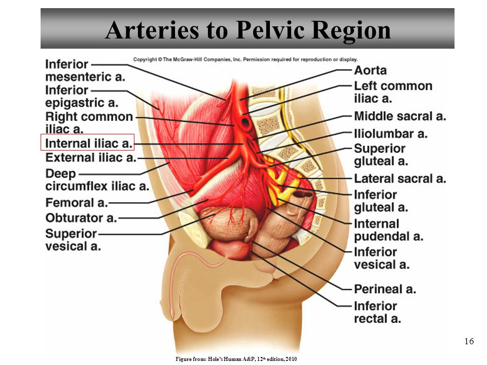 Arteries to Pelvic Region