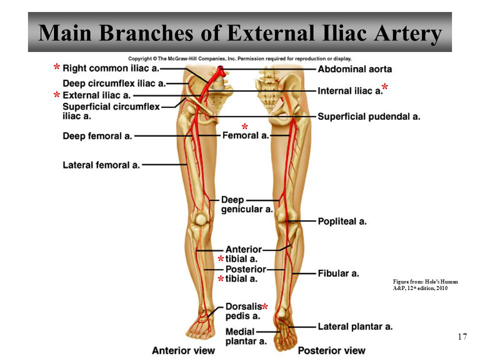 Main Branches of External Iliac Artery