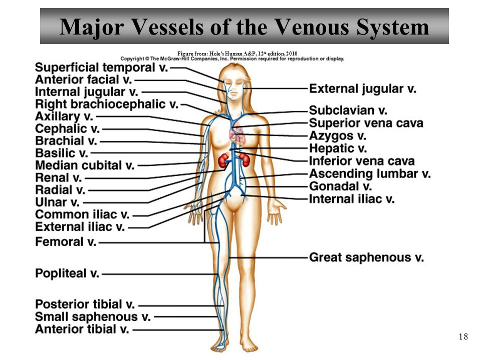 Major Vessels of the Venous System