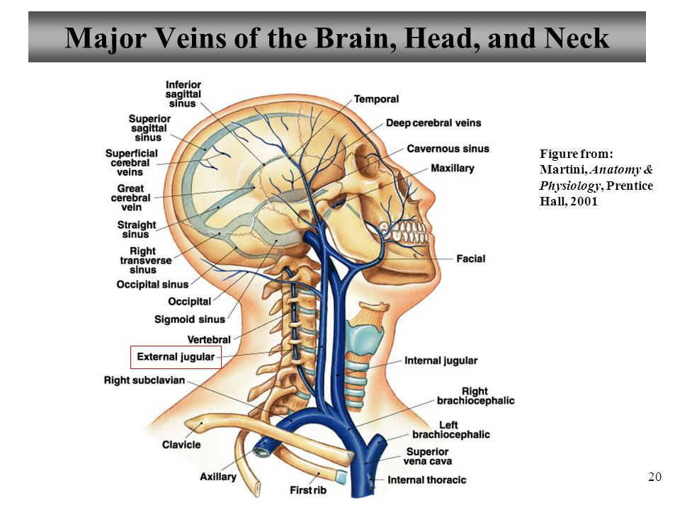 Major Veins of the Brain, Head, and Neck