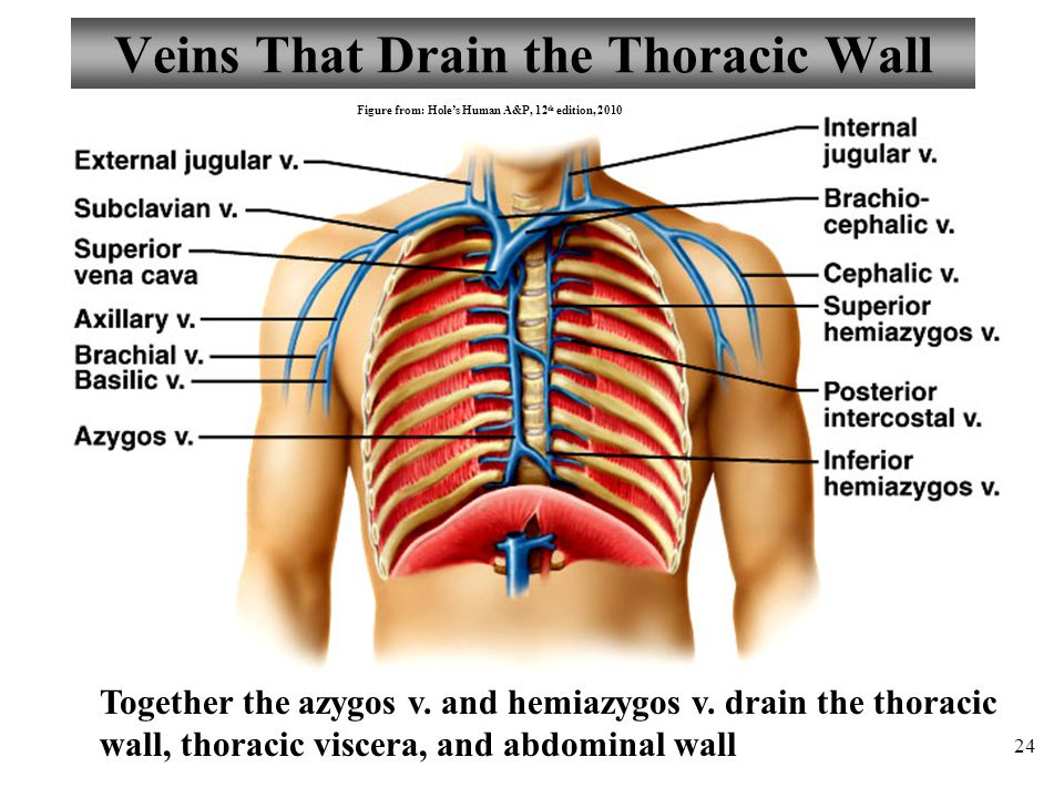 Veins That Drain the Thoracic Wall