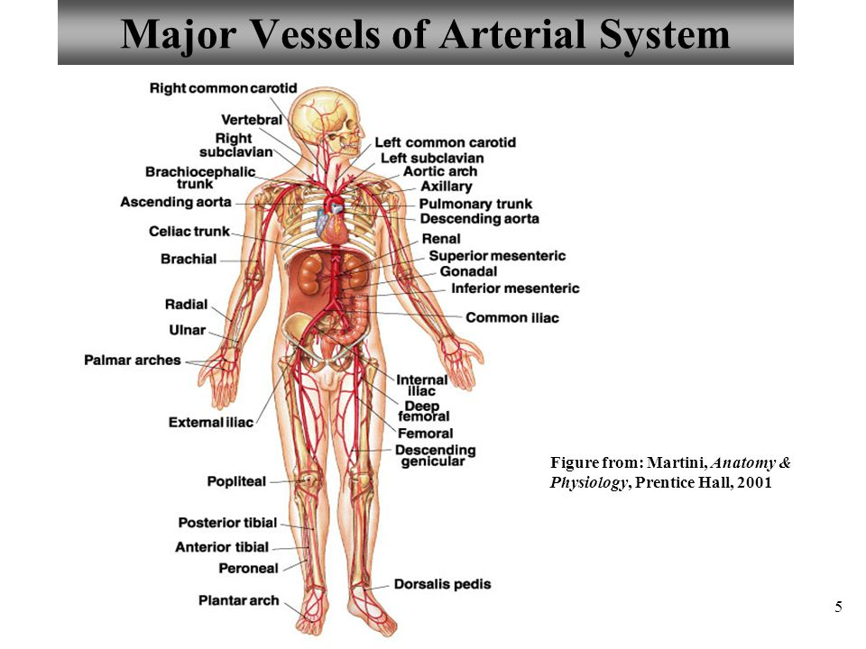 Major Vessels of Arterial System