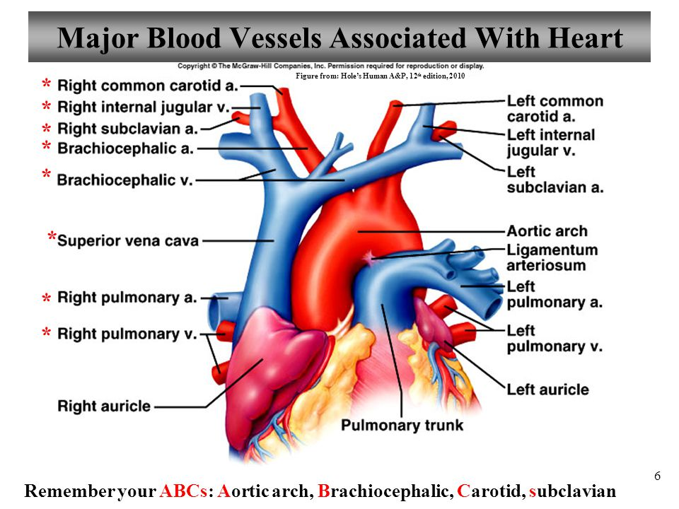 Major Blood Vessels Associated With Heart