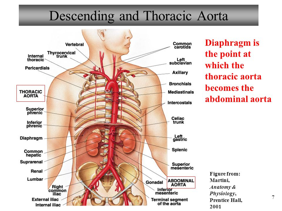 Descending and Thoracic Aorta