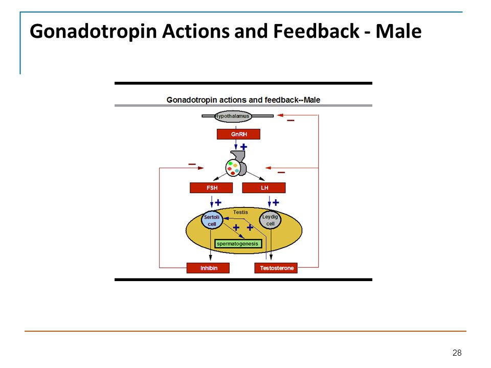 Gnrh Feedback Loop: Pituitary And Hypothalamic Physiology