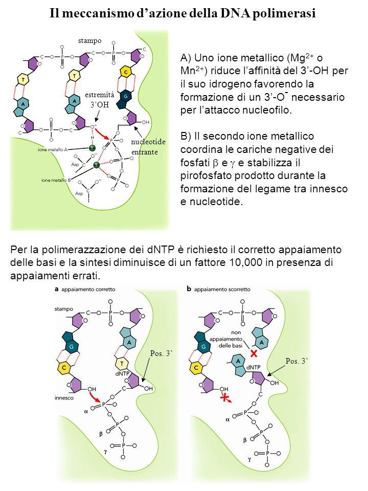 Il meccanismo d'azione della DNA polimerasi