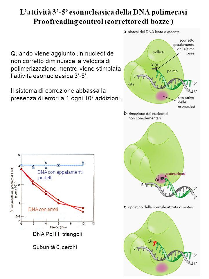 L'attività 3'-5' esonucleasica della DNA polimerasi