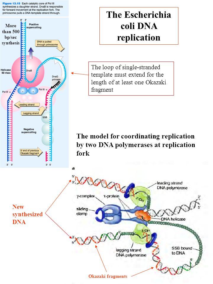 The Escherichia coli DNA replication More than 500 bp/sec synthesis