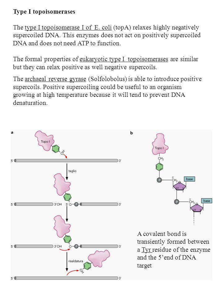 Type I topoisomerases