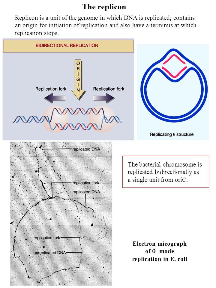 Electron micograph of  -mode replication in E. coli