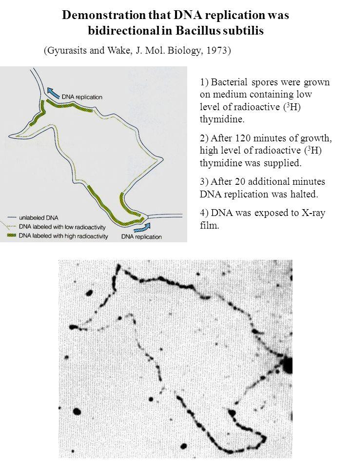 Demonstration that DNA replication was bidirectional in Bacillus subtilis