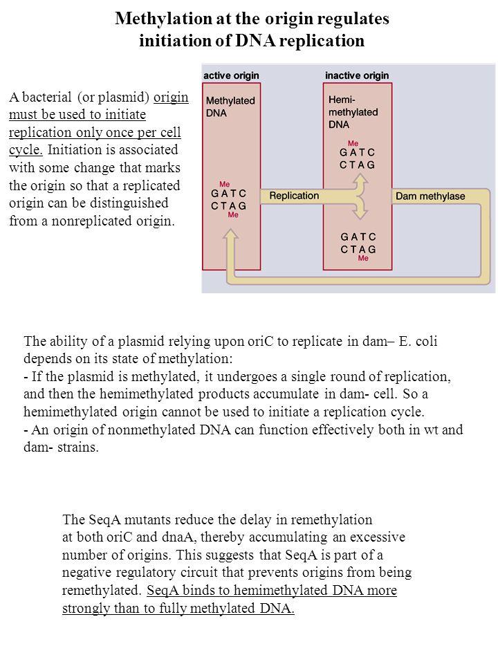 Methylation at the origin regulates initiation of DNA replication