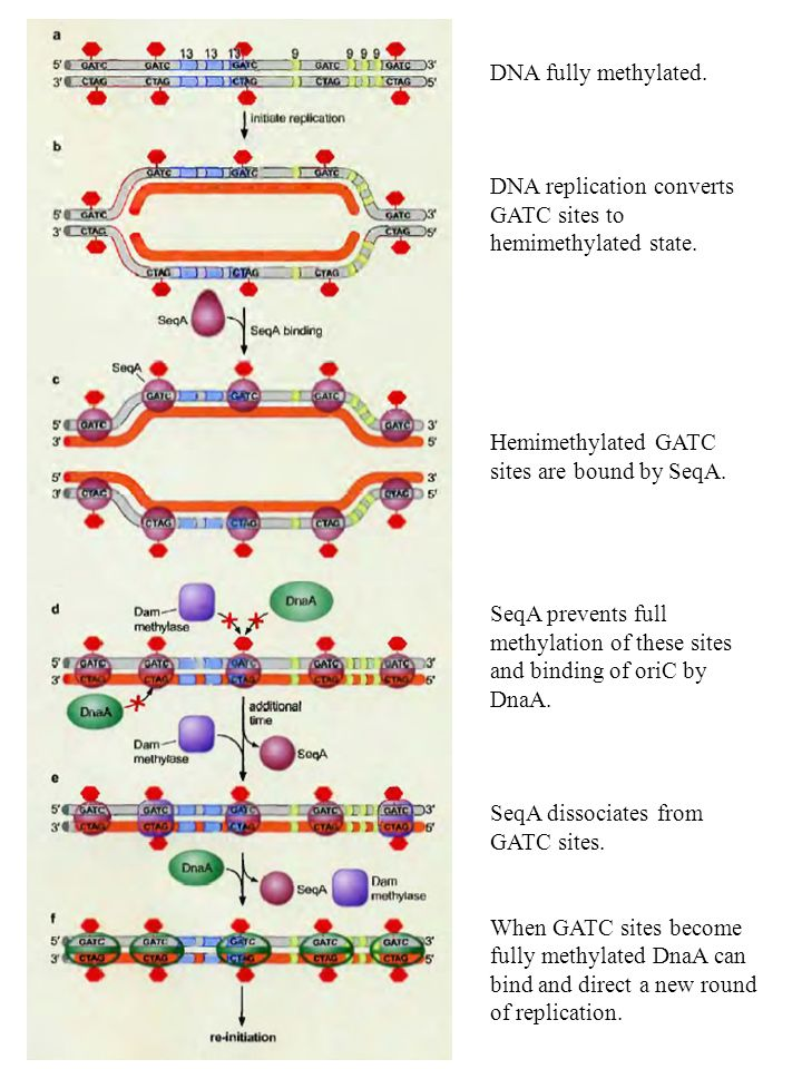 DNA fully methylated. DNA replication converts GATC sites to hemimethylated state. Hemimethylated GATC sites are bound by SeqA.