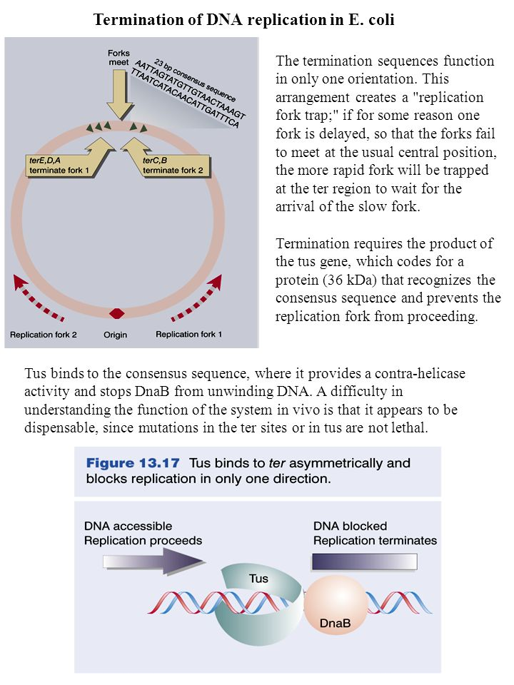 Termination of DNA replication in E. coli