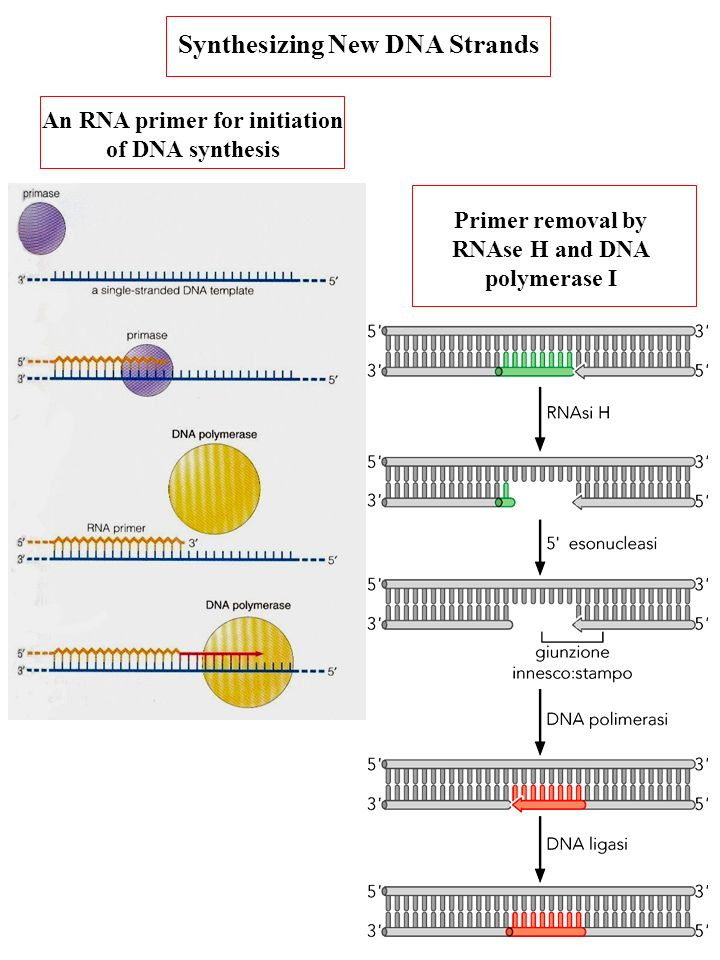 Synthesizing New DNA Strands