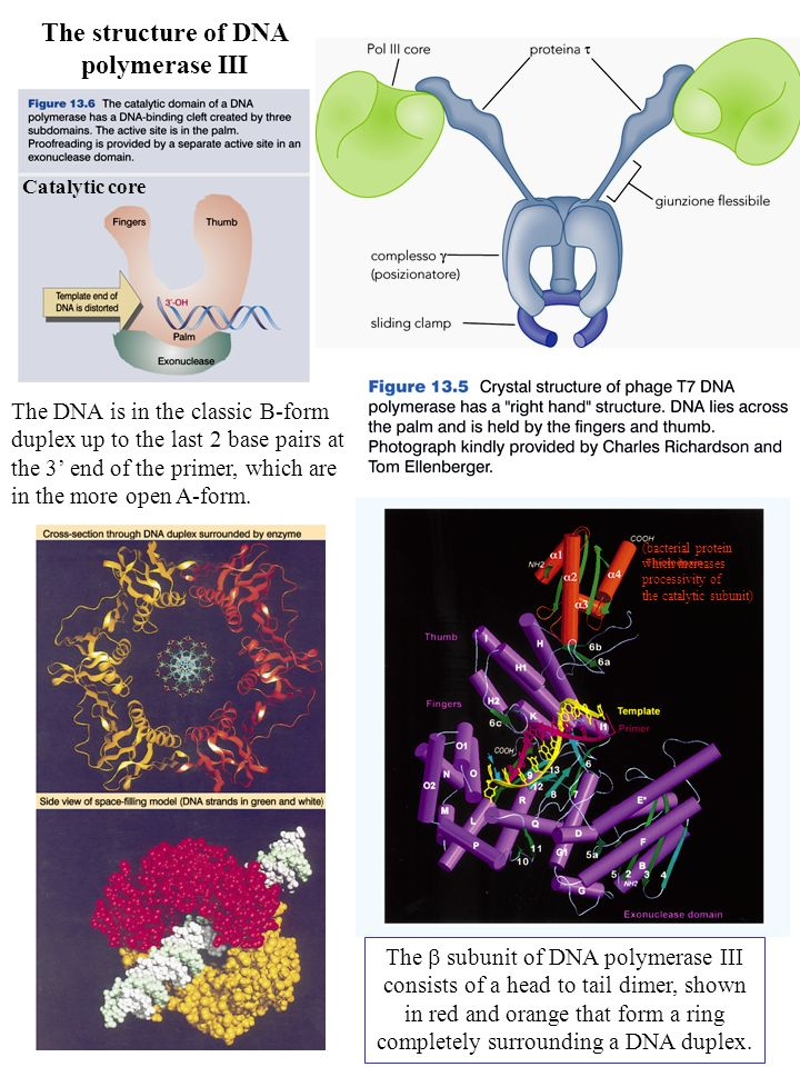 The structure of DNA polymerase III