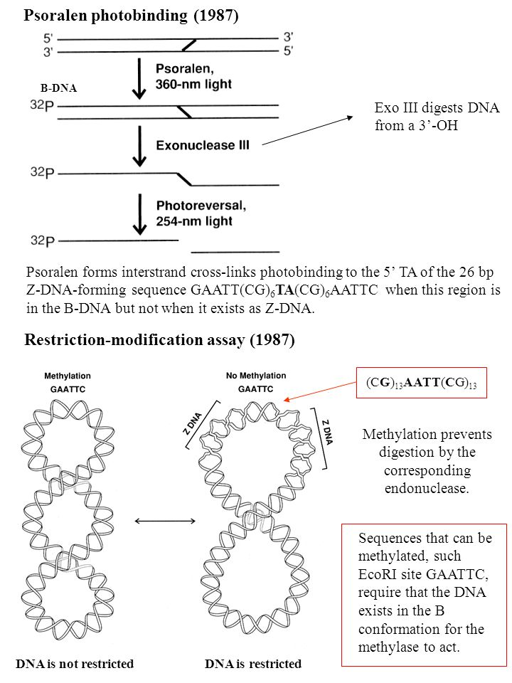 Methylation prevents digestion by the corresponding endonuclease.
