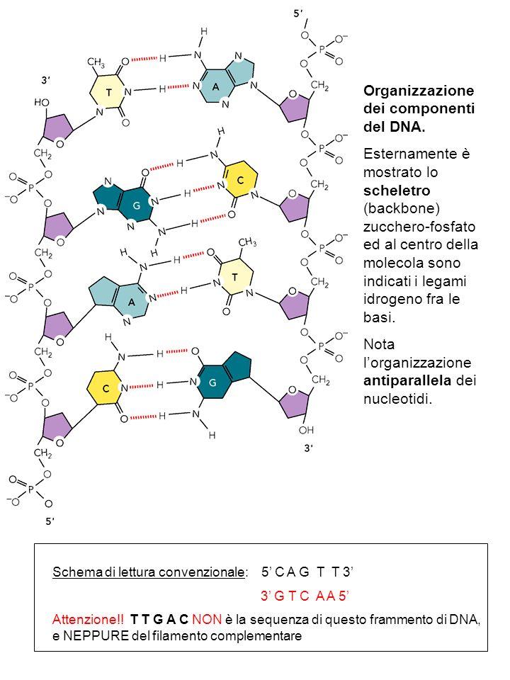 Organizzazione dei componenti del DNA.