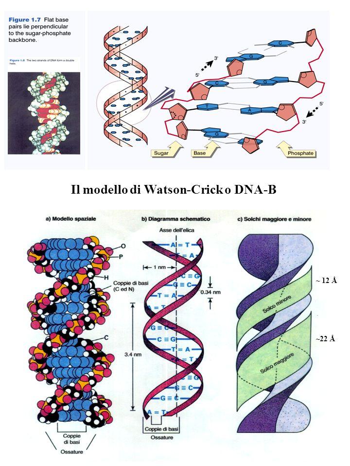 Il modello di Watson-Crick o DNA-B
