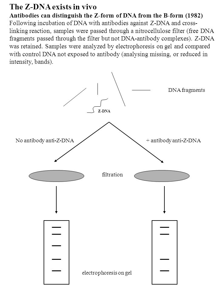 The Z-DNA exists in vivo
