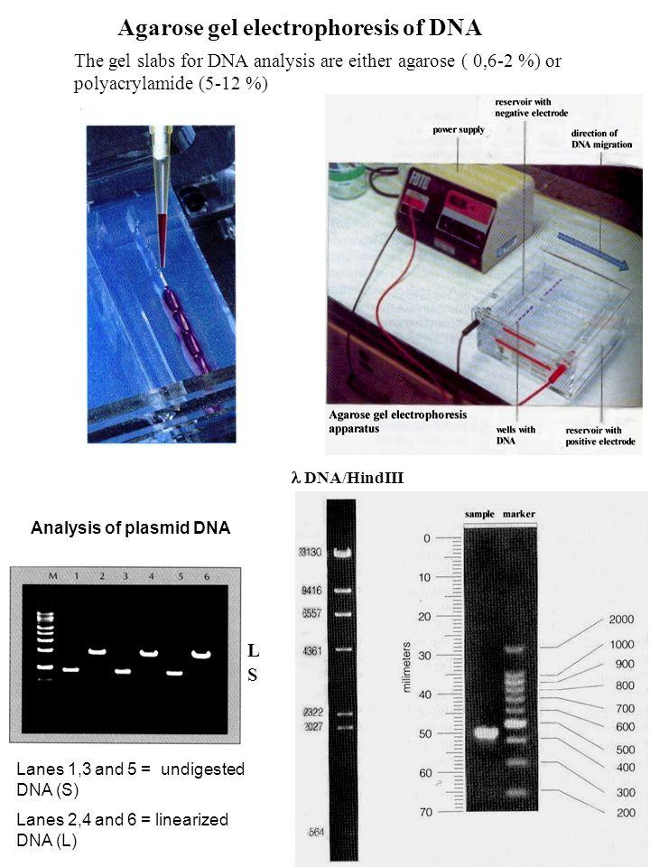 Agarose gel electrophoresis of DNA