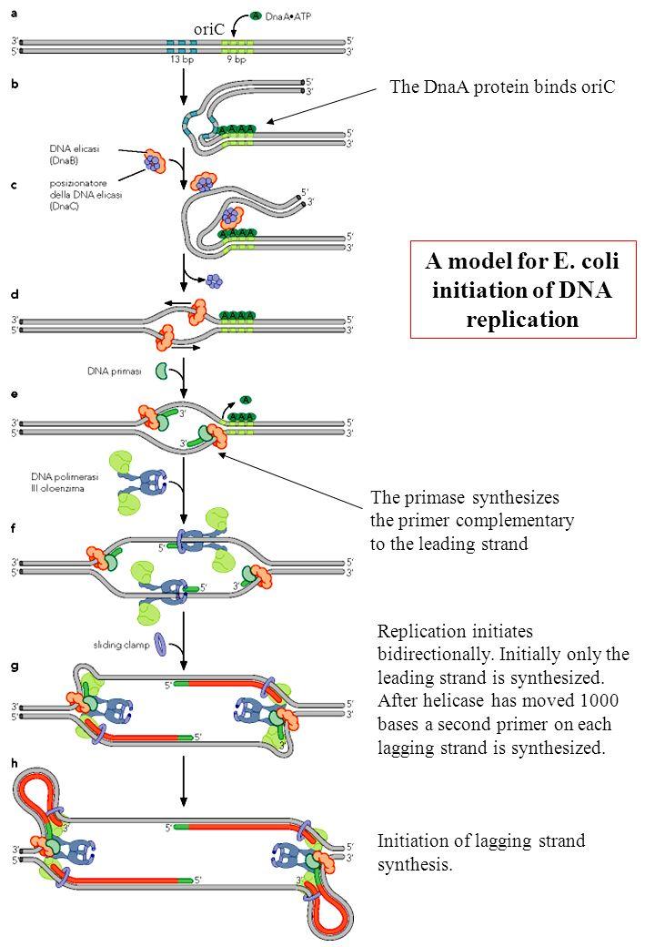A model for E. coli initiation of DNA replication