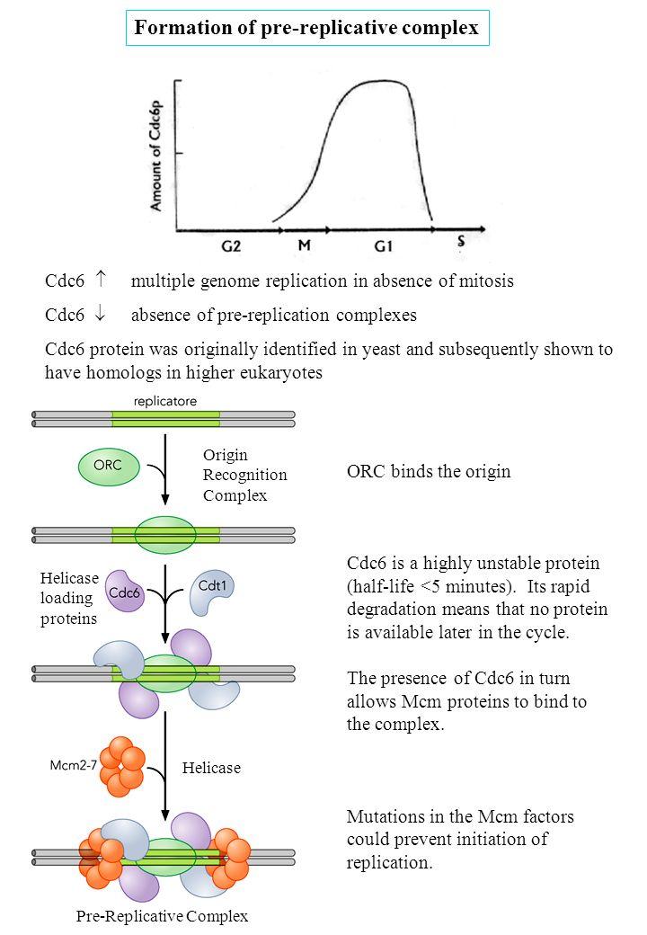 Formation of pre-replicative complex