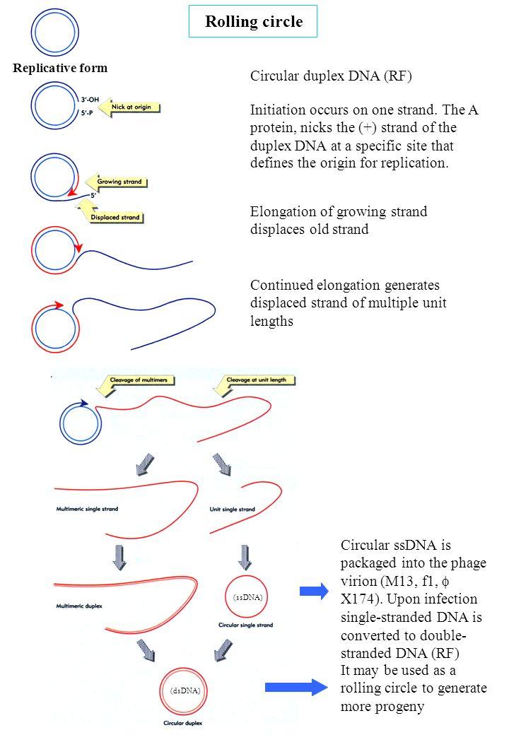 Rolling circle Circular duplex DNA (RF)
