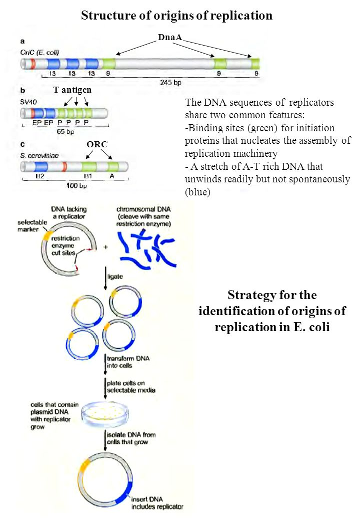 Strategy for the identification of origins of replication in E. coli