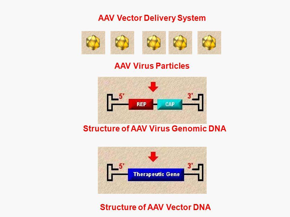 Structure of AAV Virus Genomic DNA