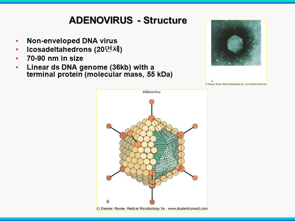 ADENOVIRUS - Structure