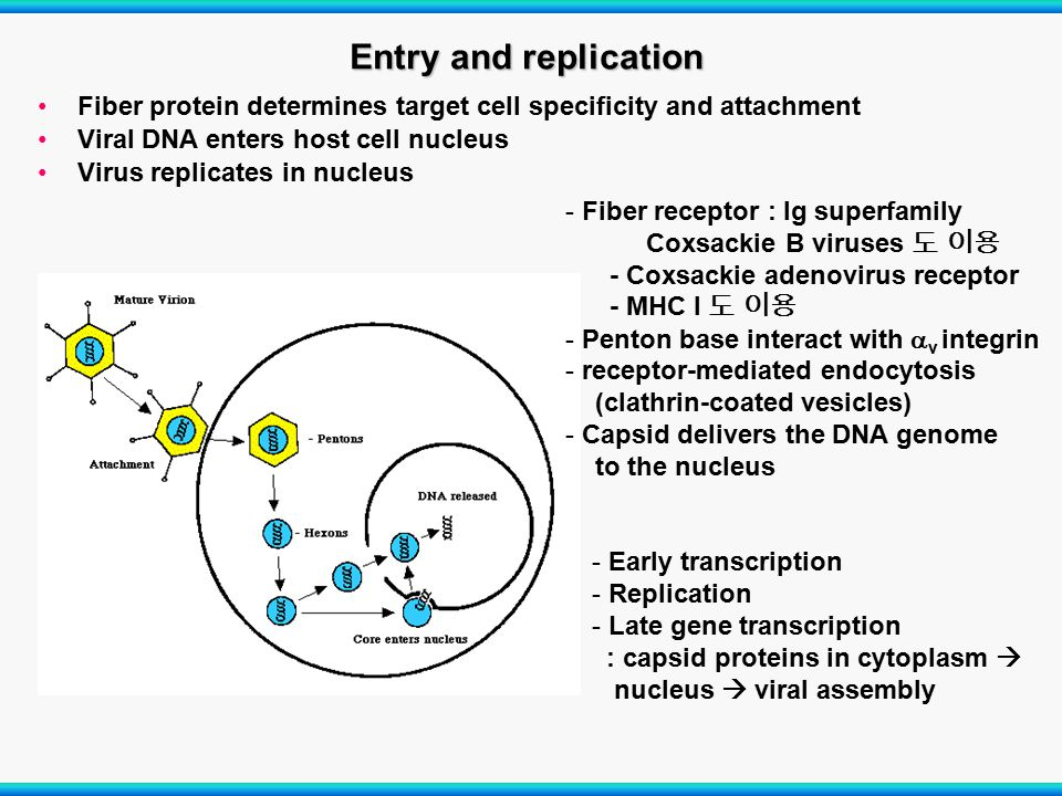 Entry and replication Fiber protein determines target cell specificity and attachment. Viral DNA enters host cell nucleus.