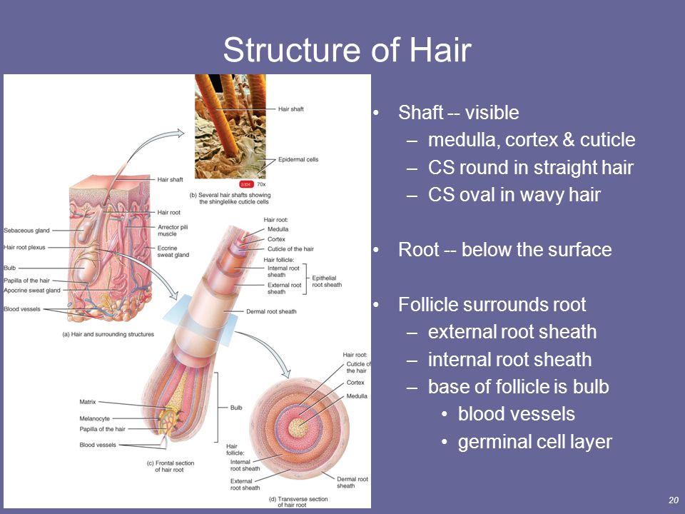 Increble Human Hair Anatomy And Physiology Embellecimiento
