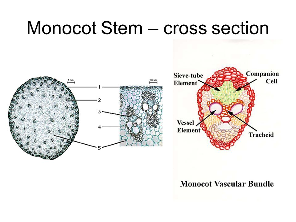 Contemporary Monocot Stem Anatomy Ensign - Anatomy And Physiology ...