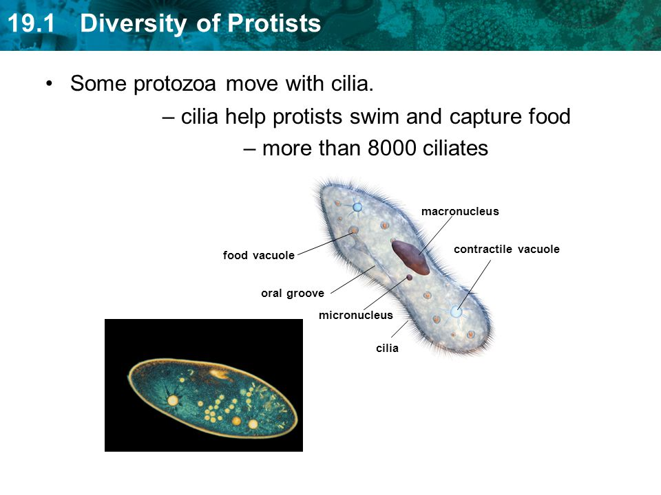 cilia help protists swim and capture food