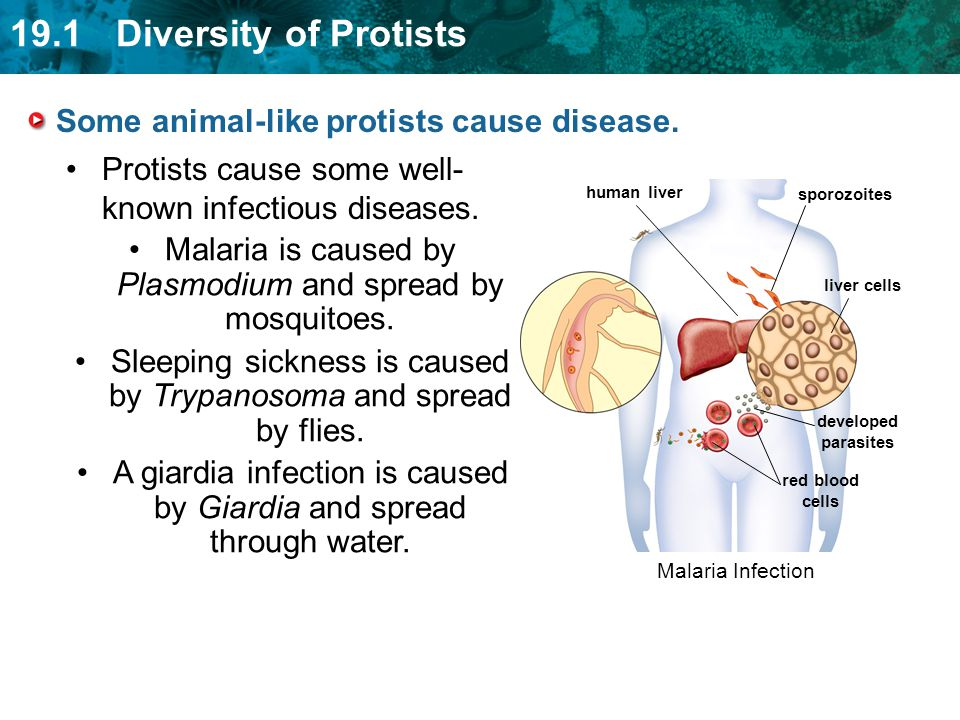 Some animal-like protists cause disease.