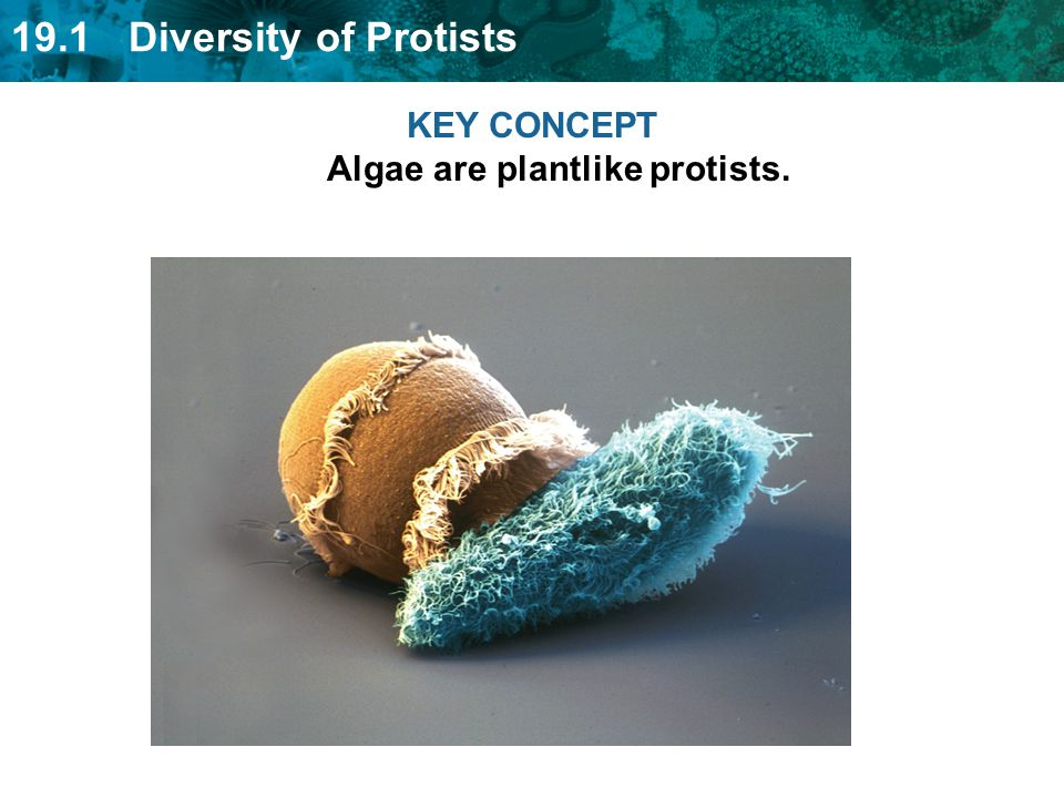 KEY CONCEPT Algae are plantlike protists.