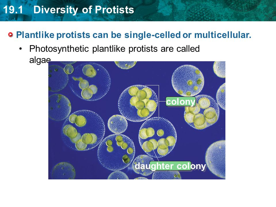Plantlike protists can be single-celled or multicellular.