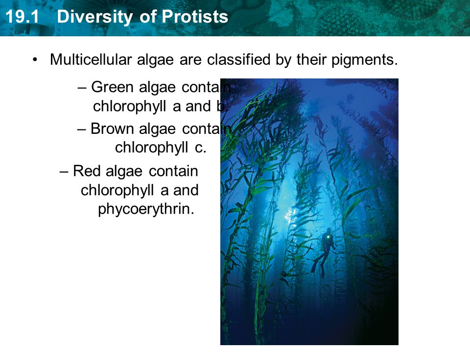 Multicellular algae are classified by their pigments.