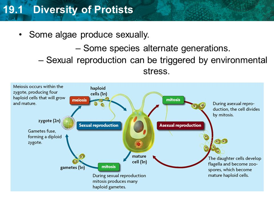 Some algae produce sexually.