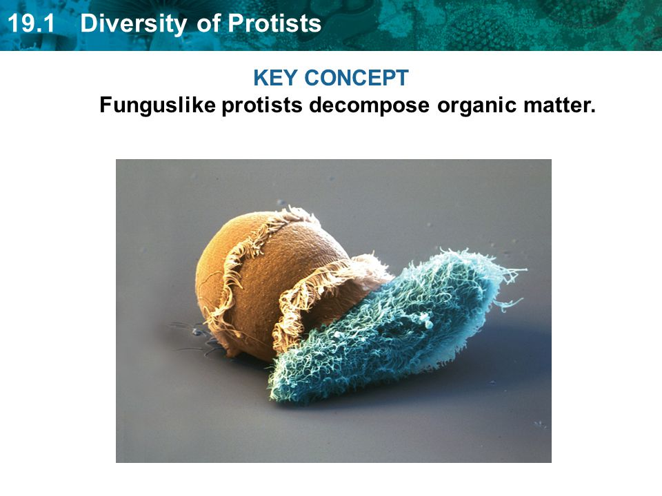 KEY CONCEPT Funguslike protists decompose organic matter.