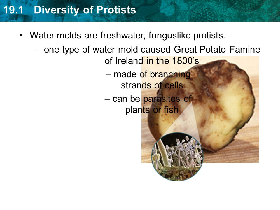 Water molds are freshwater, funguslike protists.