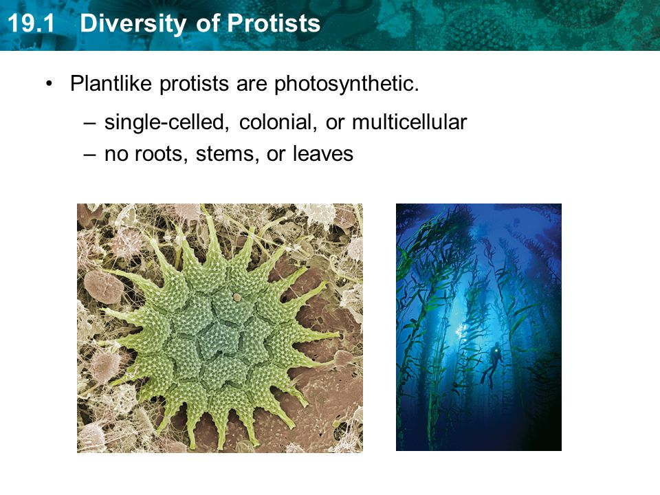 Plantlike protists are photosynthetic.